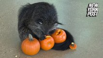 Pumpkin heaven! Zoo animals get in the Halloween spirit with spooky snacks