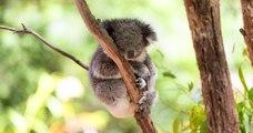 """""""Une tragédie nationale"""" en Australie avec des centaines de koalas victimes des flammes d'un gigantesque incendie"""