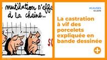 La castration à vif des porcelets expliquée en bande dessinée