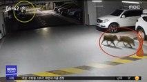 아파트 주차장에 멧돼지…도심 출몰 잇따라