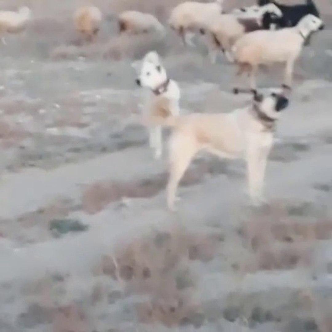 AKBAS, KANGAL COBAN KOPEKLERi GOREVi BASINDA - AKBASH, KANGAL DOGS at MiSSiON