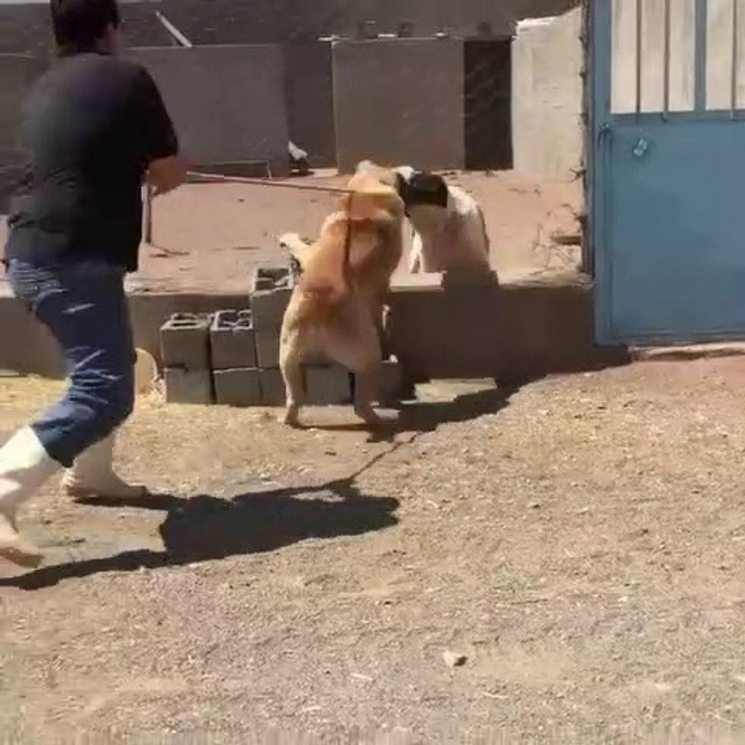 AFGANiSTAN COBAN KOPEKLERi ATISMA - AFGHANiSTAN SHEPHERD DOG VS