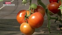 Un virus menace les cultures de tomates