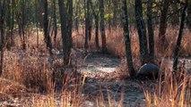 Le pangolin une espèce en danger de disparition