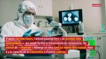 Coronavirus chinois : la maladie transmise à l'homme à cause du pangolin ?