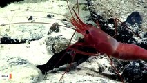 Watch: Shrimp And Fish Engage In Epic Underwater Battle