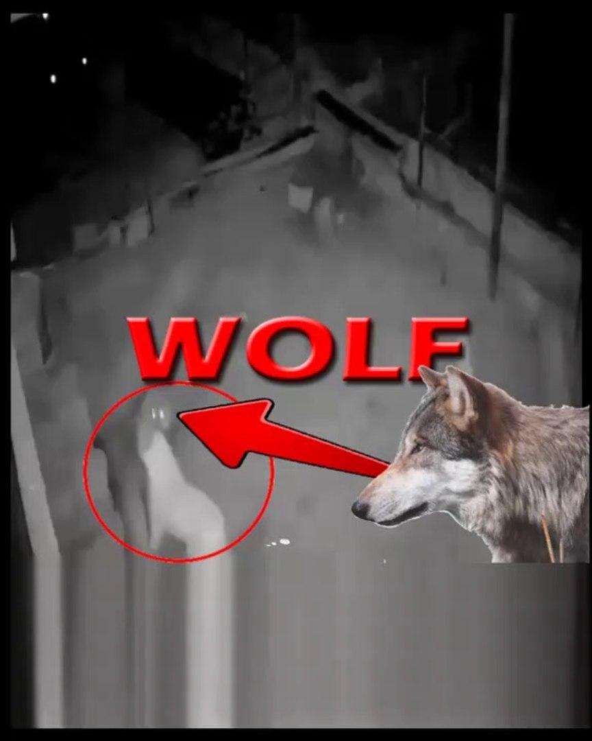 KURT KOYUNU KAPIP KACACAKKEN COBAN KOPEGiNE DENK GELDi - WOLF VS ANATOLiAN SHEPHERD DOG