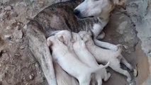 Mom Dog Nursing Their Cute Baby Puppies-The Puppies Feeding Their Mother's Milk-Dog Puppy