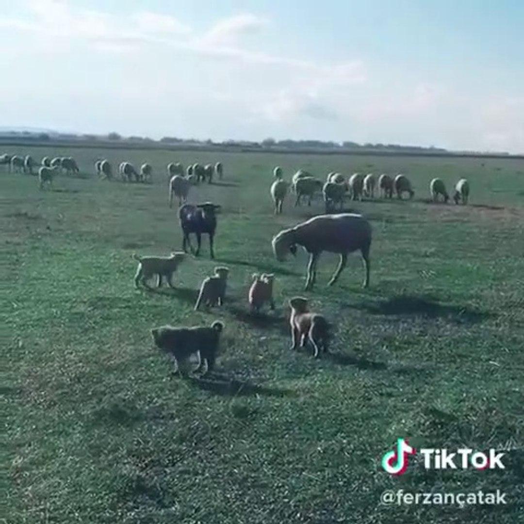 COBAN KOPEGi YAVRULARI EGiTiMDE - ANATOLiAN SHEPHERD DOG PUPPiES