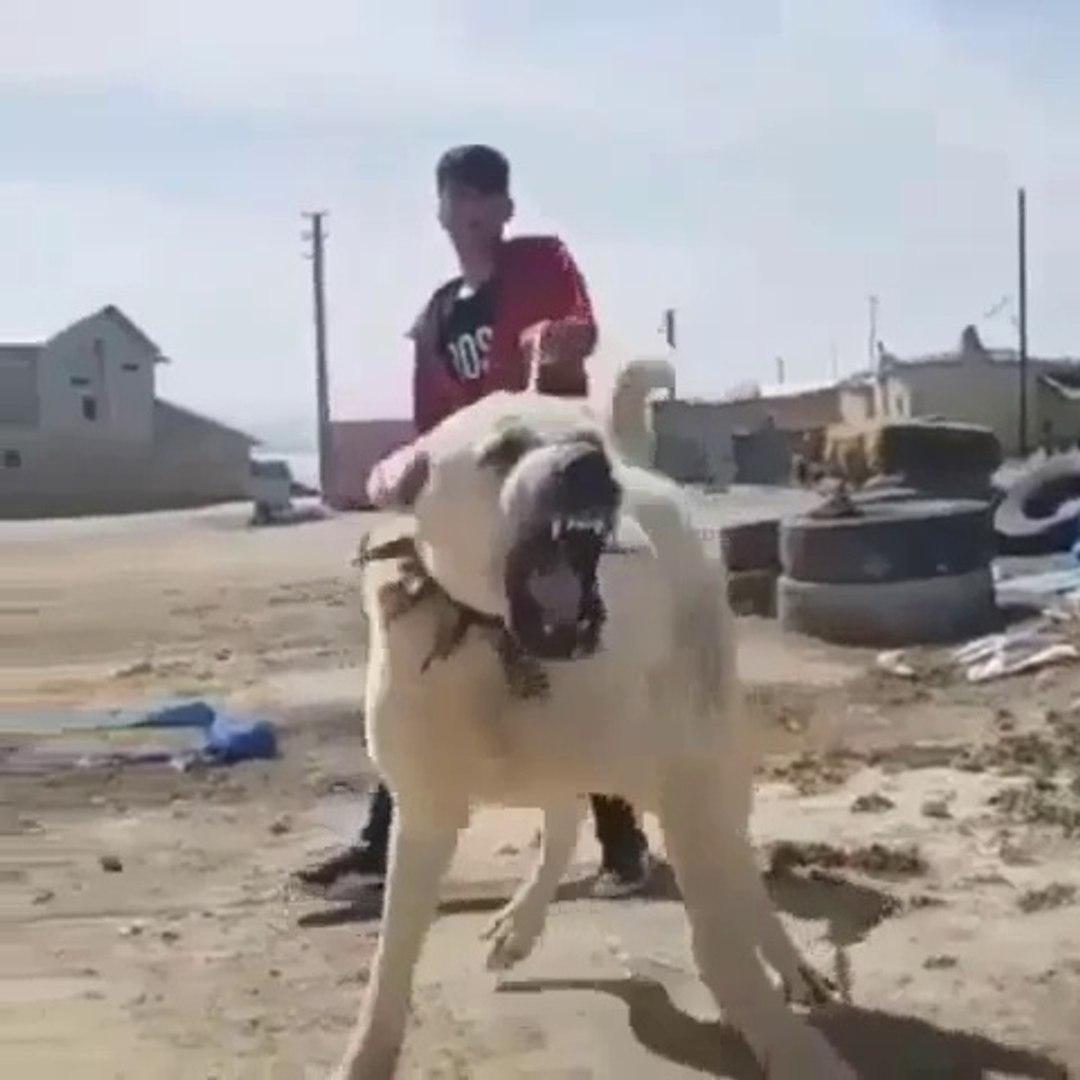 ANADOLU COBAN KOPEGi SiNiRLENMiS - ANGRY ANATOLiAN SHEPHERD DOG