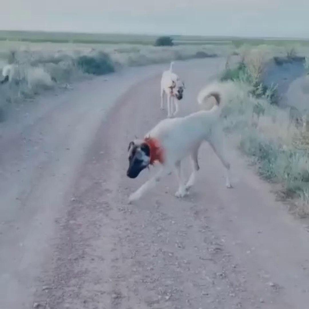 ANADOLU COBAN KOPEKLERi OGLEN GEZiNTiSiNDE - ANATOLiAN SHEPHERD DOGS WALK