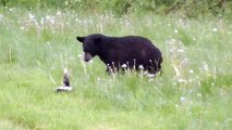 Une moufette fait fuir un ours trop curieux