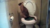 Ce chat va aux toilettes.. et utilise du papier toilette !
