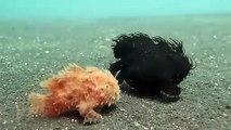 Ces choses mystérieuses ne sont pas des végétaux mais bien des animaux  poissons-crapauds