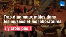 """""""J'y crois pas !"""" : Trop d'animaux mâles dans les musées et les laboratoires"""