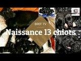 """Un chien Labrador choque ses propriétaires en donnant naissance à 13 chiots """"absolument magnifiques"""""""