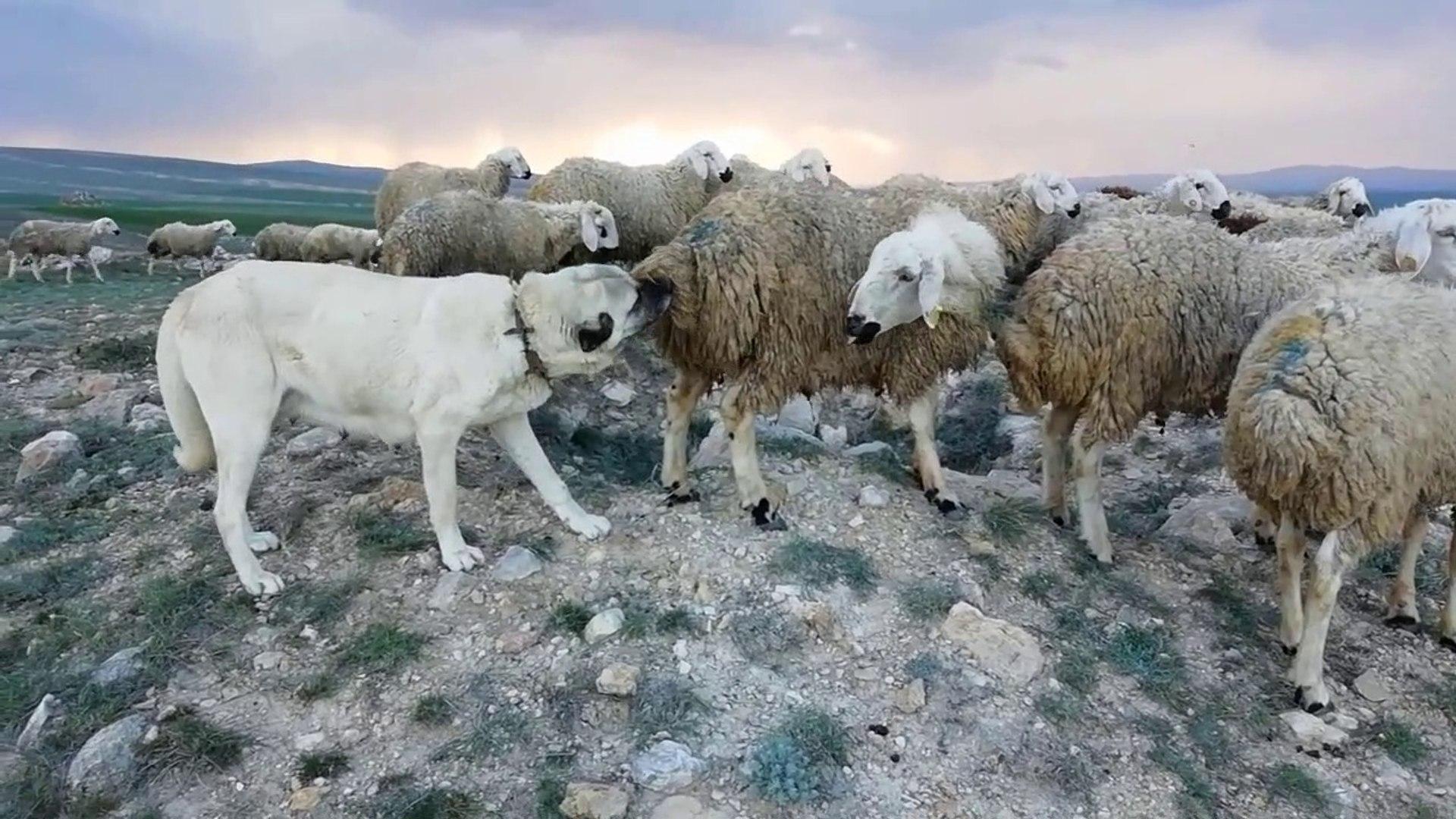 SiVAS KANGAL KOPEGiNiN BiT PiRE TEMiZLiGi - KaNGAL SHEPHERD DOG FLEA CLEANiNG