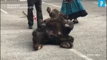 « Il faut sauver les ours Glasha et Bony »