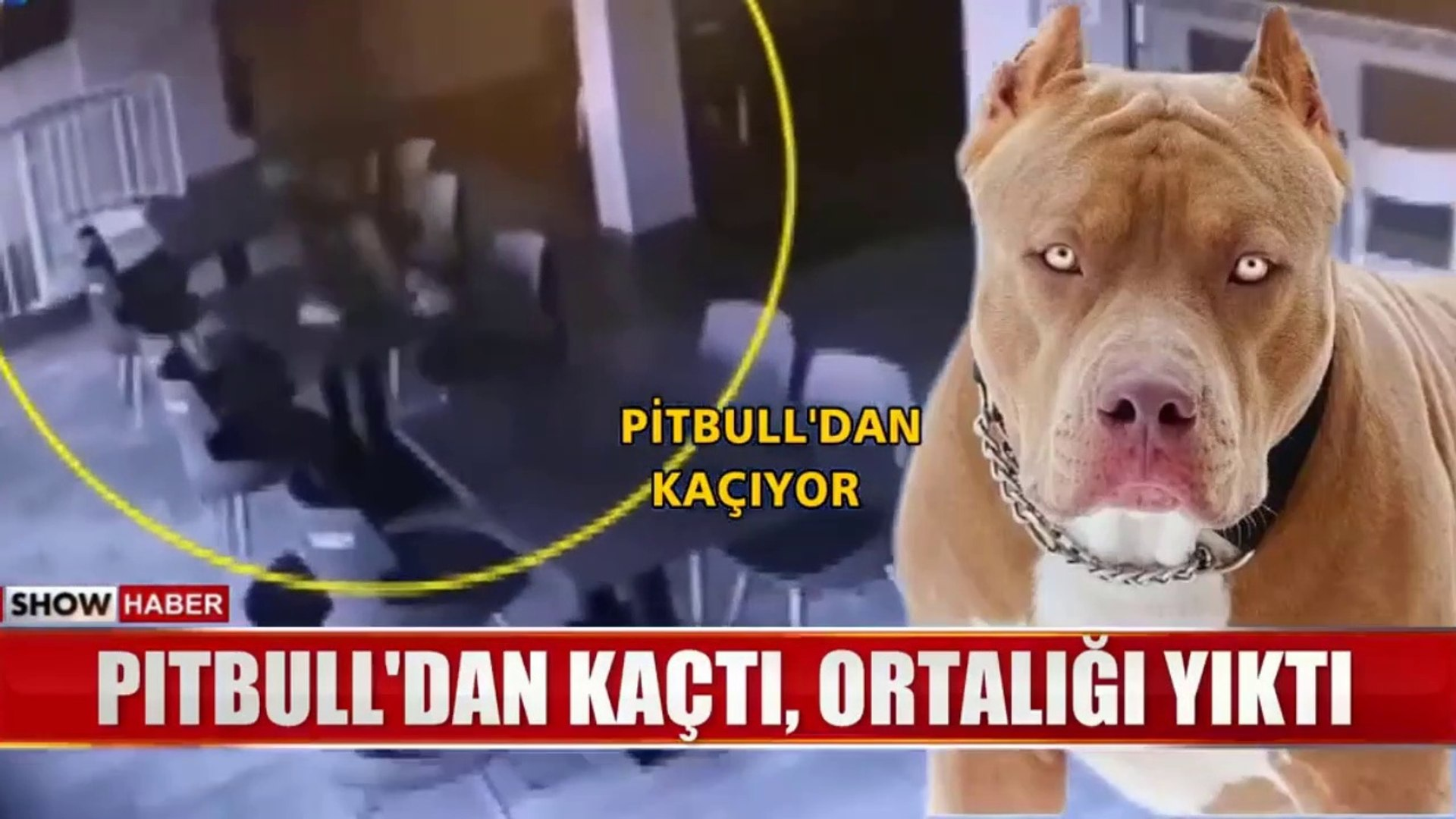 PiTBULL ile ADAMIN KARSILASMA ANLARI - PiTBULL TERRiER and 1 MAN vs