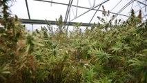 First U.S. hemp harvest is a bust