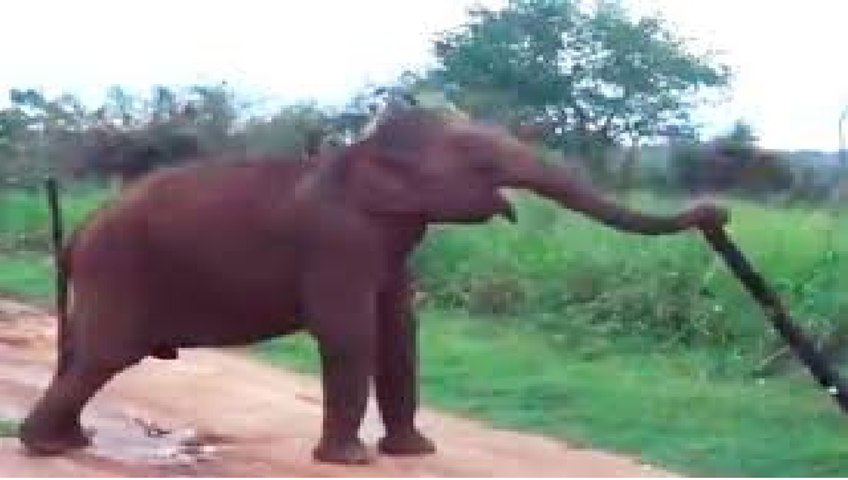 Watch: How this smart Elephant finds its way to cross an electric fence