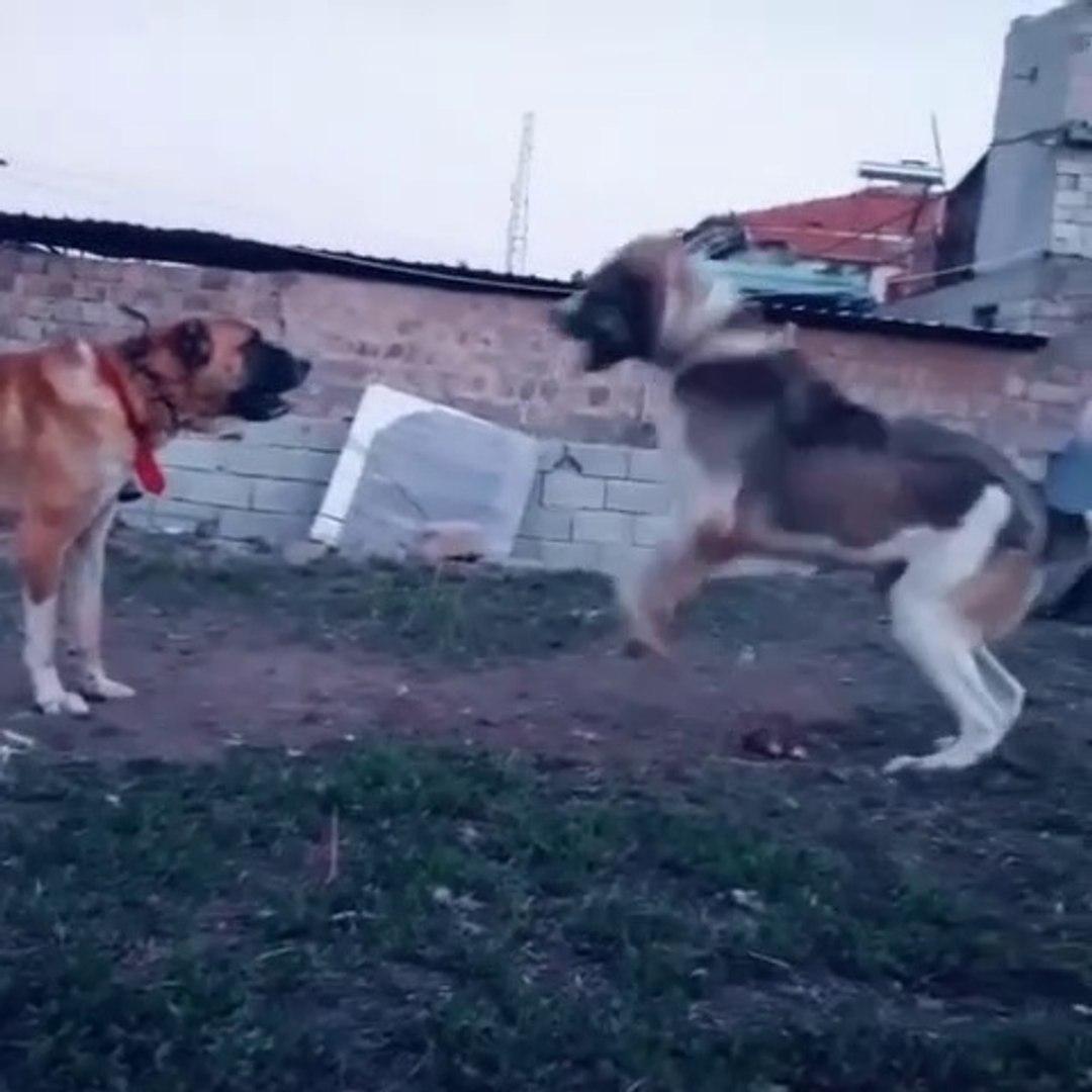 ALA ve COBAN KOPEKLERi KARSILASMASI - ANATOLiAN SHEPHERD DOGS vs