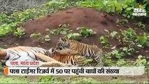 पन्ना टाइगर रिजर्व में 10 साल पहले हुई थी बाघों की पुर्नस्थापना की शुरुआत; आज 50 बाघों का कुनबा