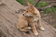 This Adorable Puppy Was Rescued by an Australian Family — but It Turned Out to Be a Dingo