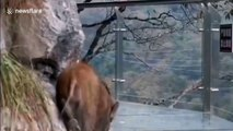 Wild boar allegedly scared to walk on glass walkway after falling from cliff in China