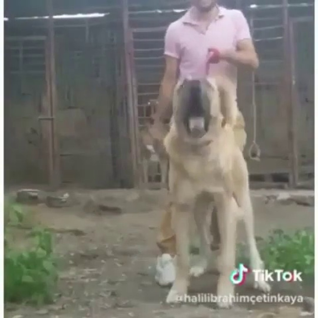 DEV VE Bi o KADAR SiNiRLi ANADOLU COBAN KOPEGi - GiANT and ANGRY ANATOLiAN SHEPHERD DOG