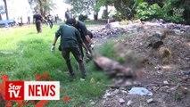 Wild boars running wild in Melaka, says Perhilitan