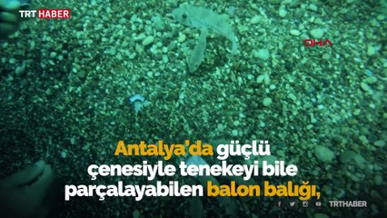 Balon balıkları sert kabuklu midyeleri anında yok etti