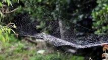 Morning Dew On Spider Web