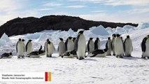 Emperor Penguins Are Headed Toward Extinction, Scientists Warn
