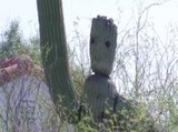 GROOT! Tucson cactus looks like Guardians of the Galaxy superhero - ABC15 Digital