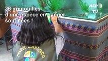 Pérou: 36 grenouilles d'une espèce en danger sont nées en captivité