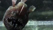 Ce poisson préhistorique est terrifiant : Anglerfish