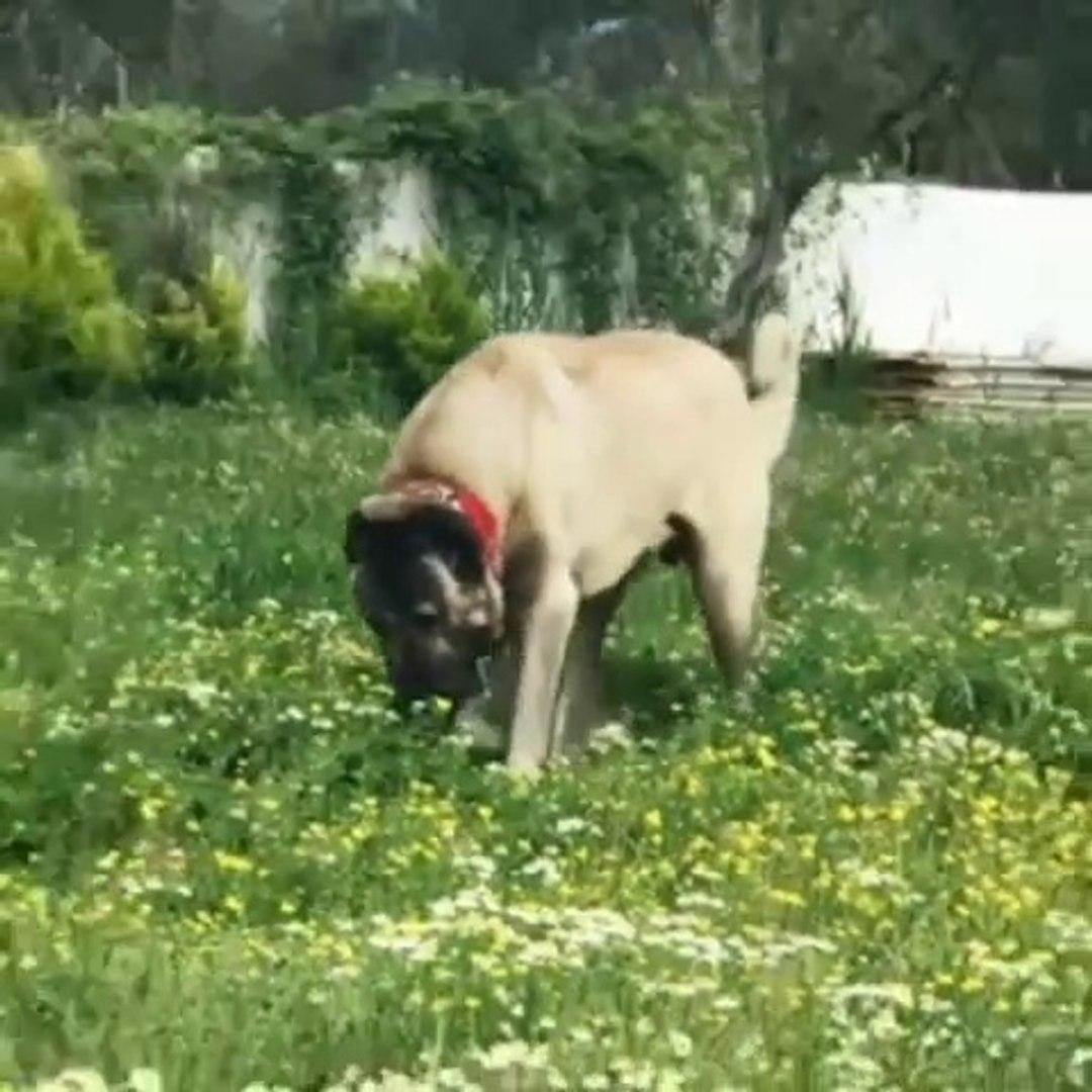 KARABAS KOCA KAFA ANADOLU COBAN KOPEGİ - BLACK HEAD ANATOLiAN SHEPHERD DOG
