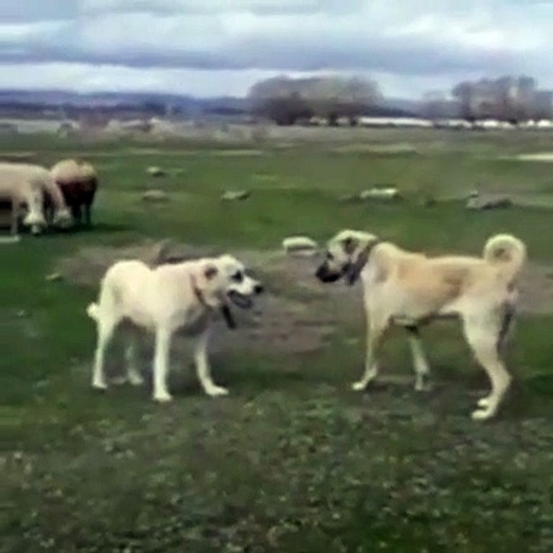 ALA ve KANGAL COBAN KOPEGi KARSI KARSIYA - ALA SHEPHERD DOG and  KANGAL DOG FACE TO FACE