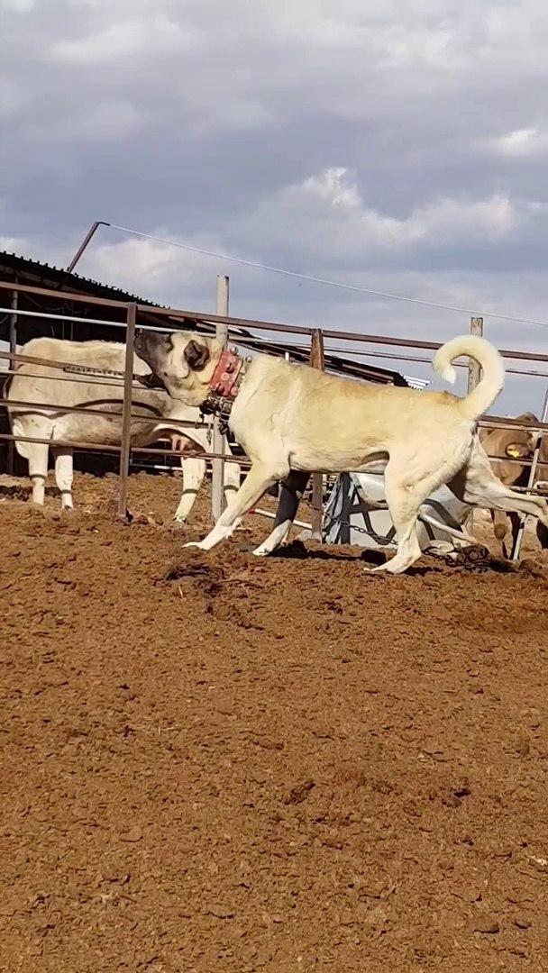 DEV ve SiNiRLi ANADOLU COBAN KOPEGi GUC GOSTERiSi - GiANT and ANGRY ANATOLiAN SHEPHERD DOG SHOW POWE