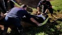 Bataklığa saplanan ineği kurtarmak için seferber oldular