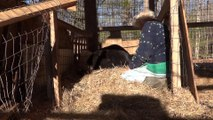 Momma Bear Allows Human to Touch Her Newborn Cubs