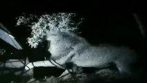 Des campeurs reçoivent la visite de lions en colère en pleine nuit