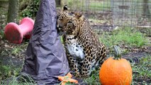 Halloween With Big Cats