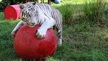 White Tiger Has A Ball!