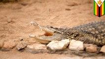 勇猛11歲女童 為救朋友對鱷魚戳眼肉搏