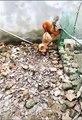 Chicken VS Dog Fight - Funny Dog Fight Videos