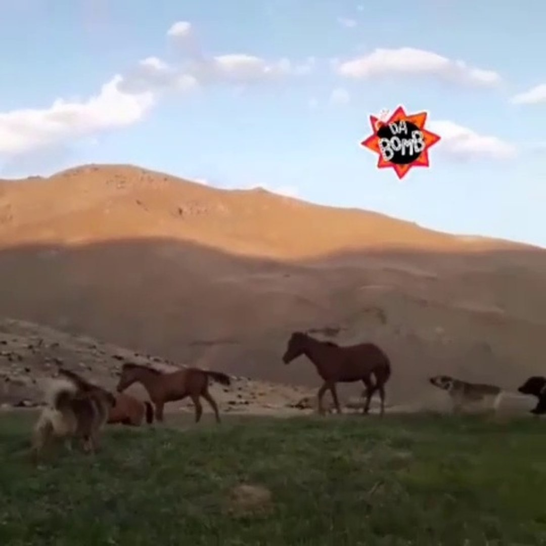 ANADOLU COBAN KOPEKLERi VS ATLAR - ANATOLiAN SHEPHERD DOG VE HORSES