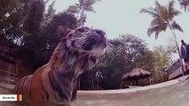 Underwater Camera Captures Swimming Tigers