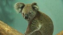 Koalas Injured In Australia Wildfires Receive Treatment